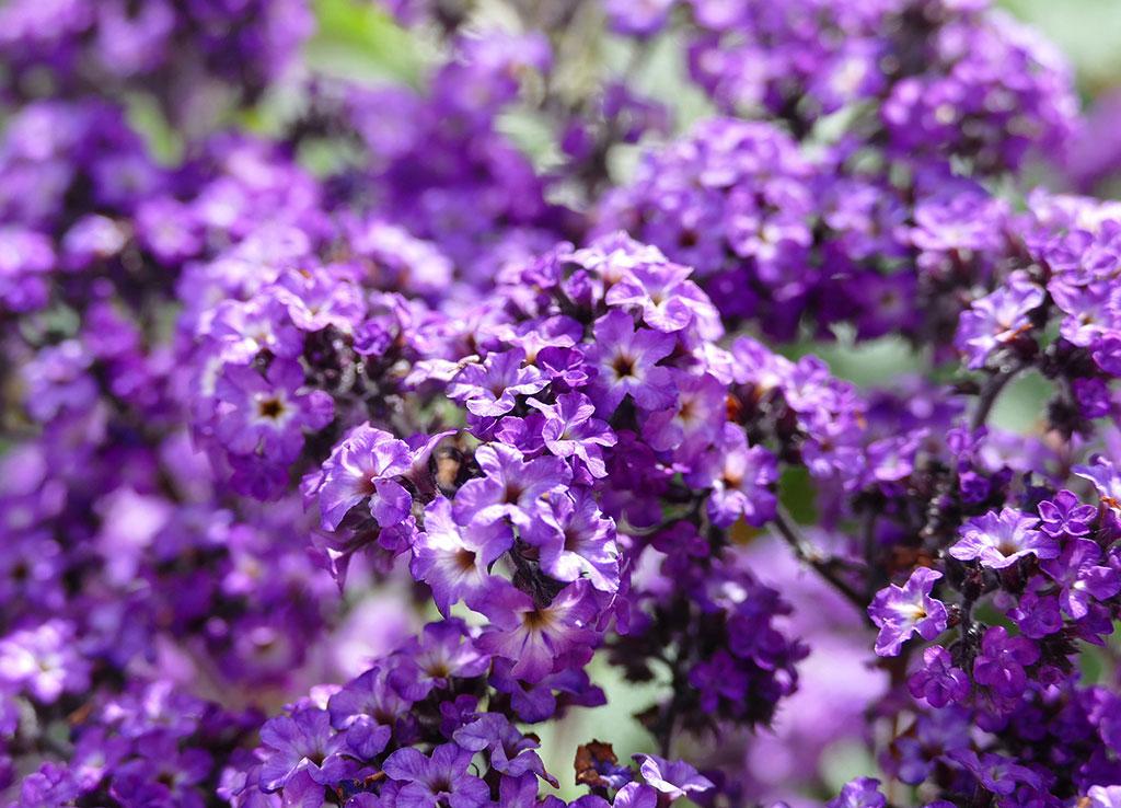 Många vill odla Heliotrop för att få känna den vaniljliknande doften. Var redo att så fröerna i tid, så att den hinner blomma.