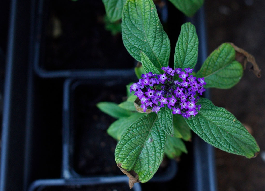 En otålig heliotrop – eller en glömsk odlare – som blommar i väntan på omplantering.