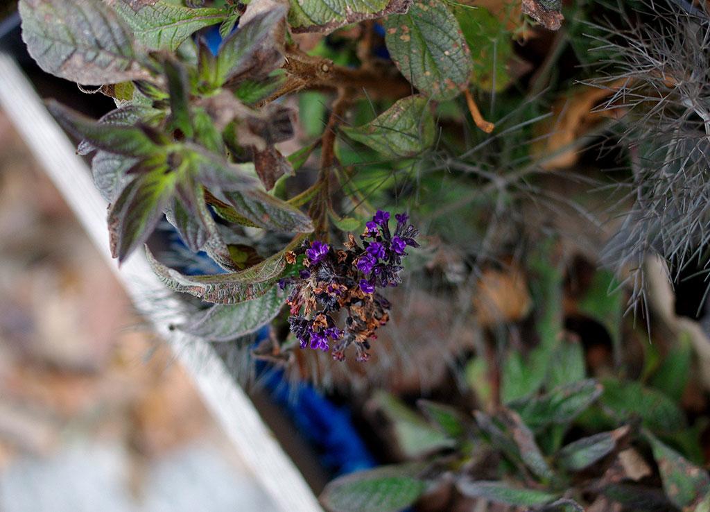 Heliotropen kanske behöver startas tidigt, men den bjuder på blomsterprakt länge. På bilder ser vi årets sista blommor den 17 november.
