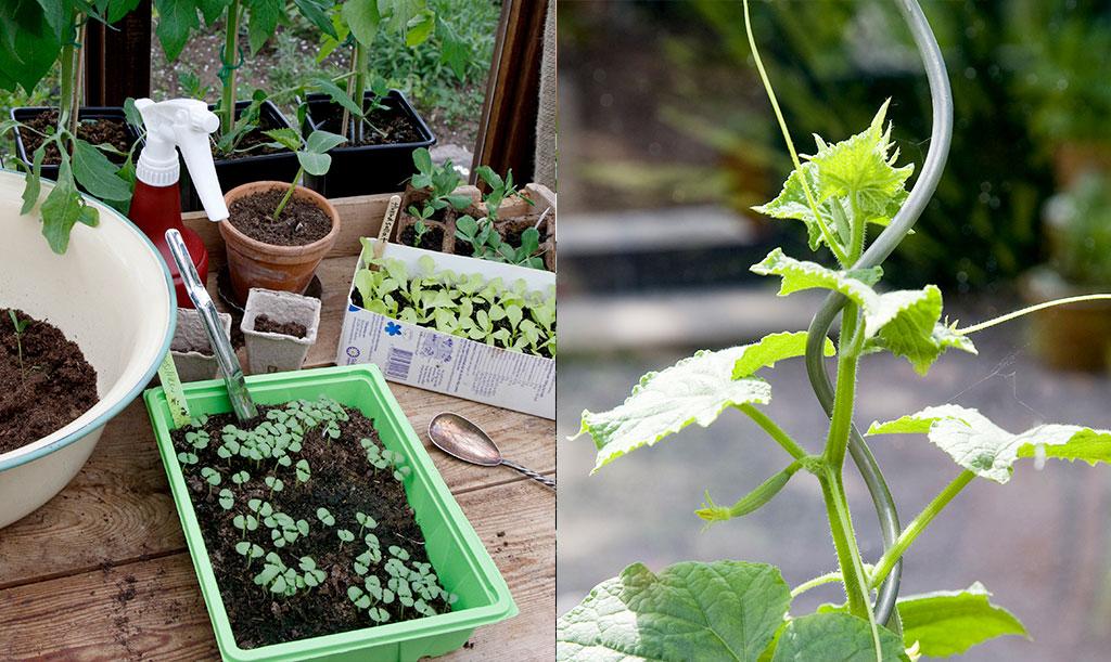 Alla plantor är små till en början! När du provar nya sorter hjälper fröpåsen till att berätta om hur stor. hög eller tung växten blir. Foto: Annika Christensen
