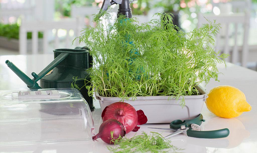 Dill är en populär krydda som går att odla i köket. Foto: Annika Christensen
