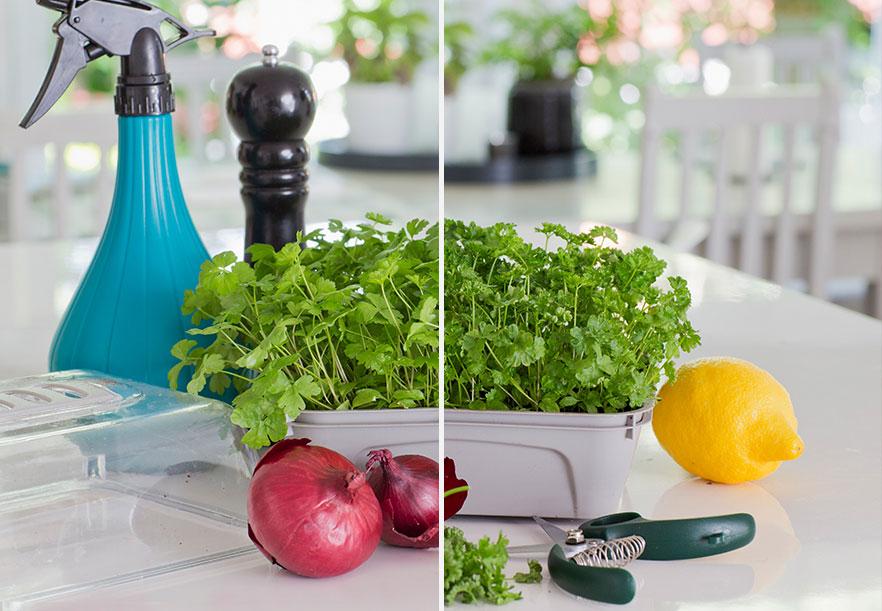 Persilja finns både som slät- och krusbladig. Villen är din favorit? Foto: Annika Christensen