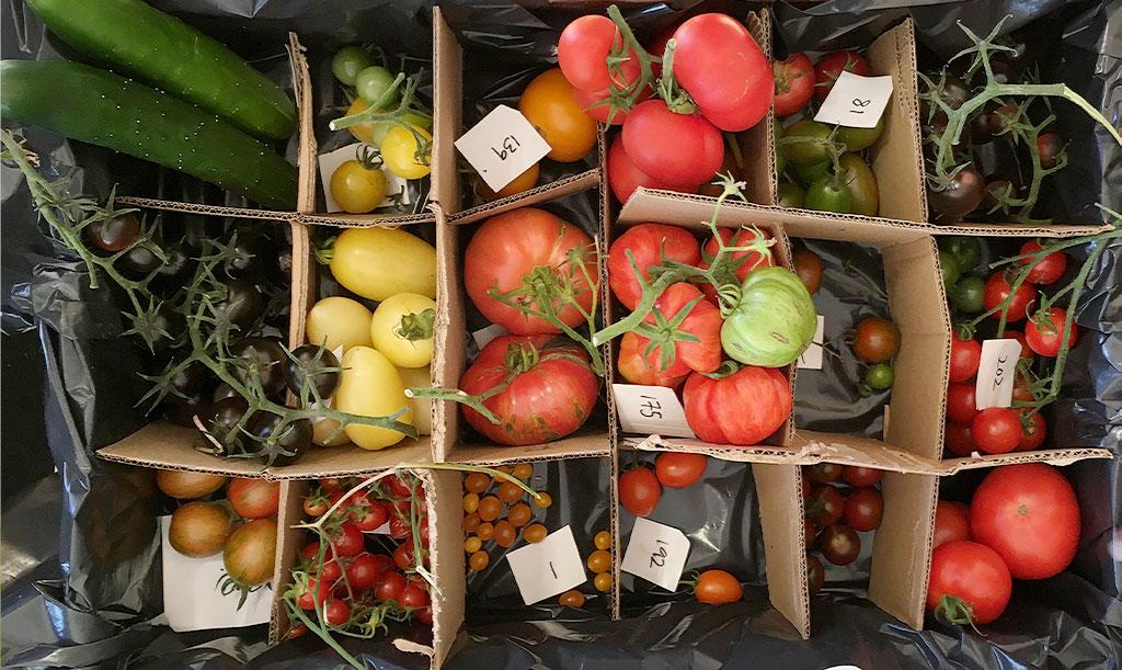 Tomatsorter för provning! Foto: Lovisa Back