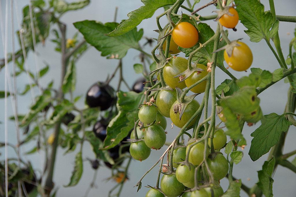 Tomatklasarna börjar mogna utifrån. Vissa sorter har stora klasar där mognaden är mer spridd. Foto: Lovisa Back
