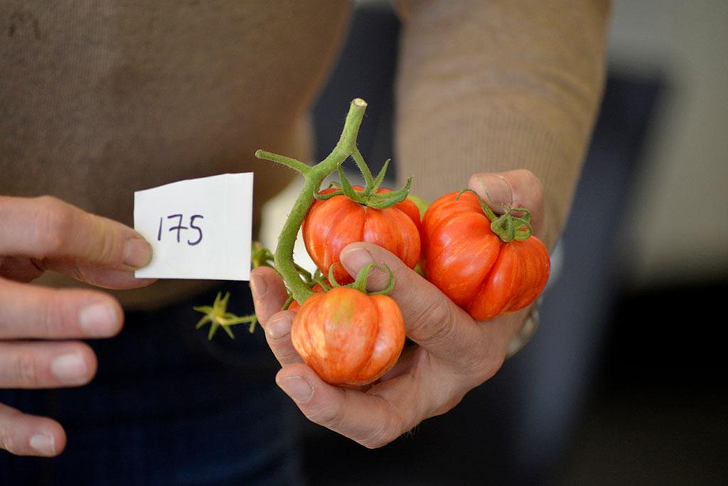 Utseendet är inte alls – men visst är det roligt att odla tomater som sticker ut. Foto: Lovisa Back