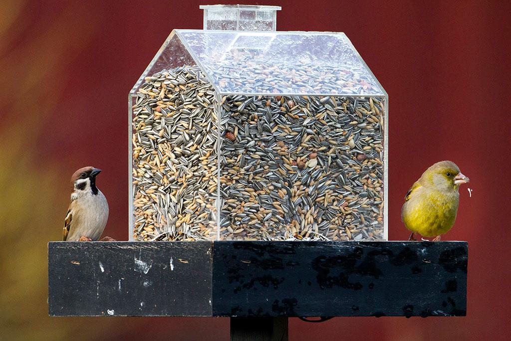 En pilfink och en grönfink på var sida om fågelmataren Twilight. Foto: Lennart Hyse och Christer Svensk