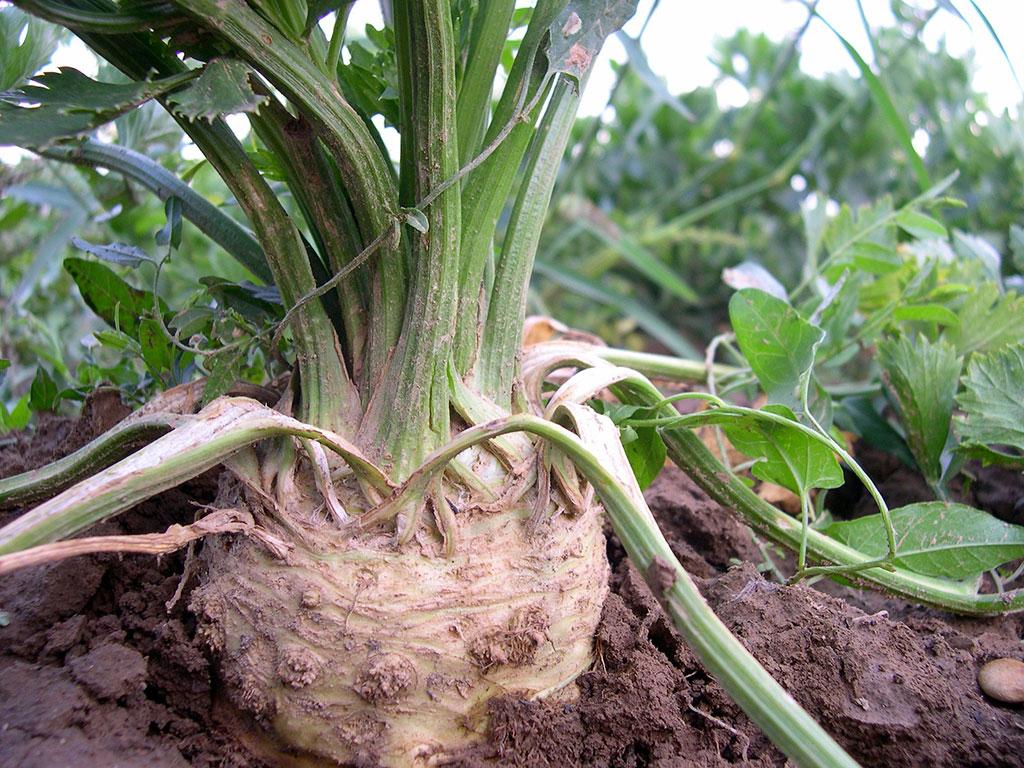 Rotselleri är en härdig grönsak som tar gott om tid på sig.