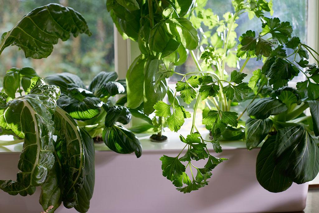 Bladgrönt och kryddor som basilika, persilja och koriander fungerar utmärkt att odla hydroponiskt. Foto: Peter Carlsson