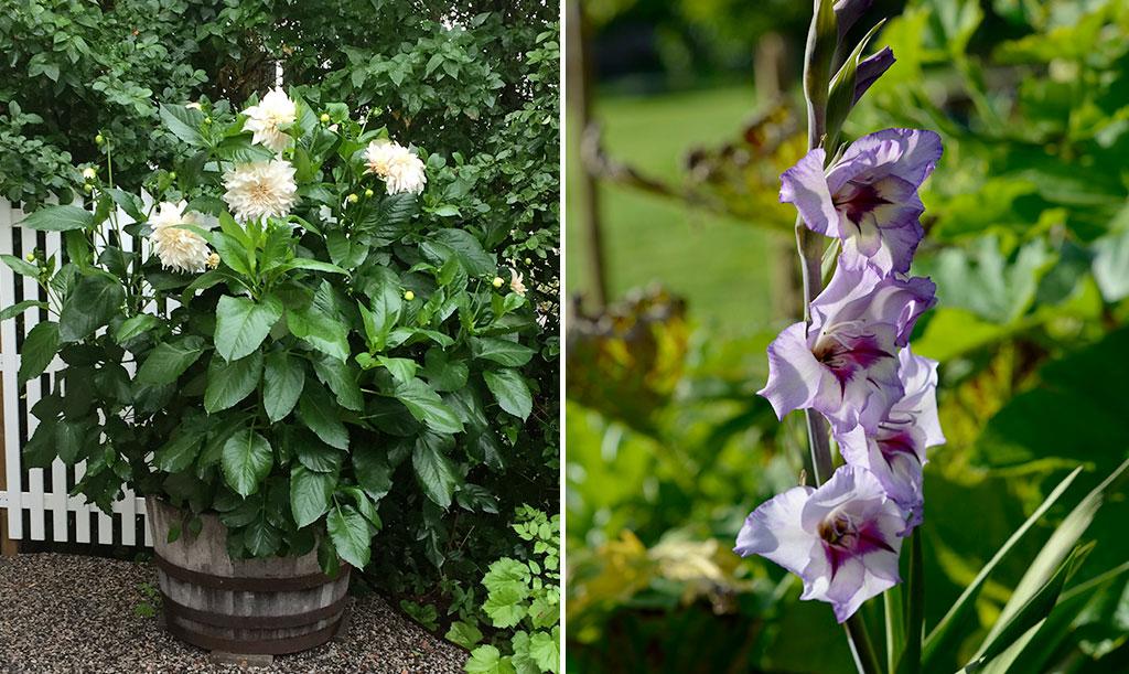 Dahlian fortsätter att blomma ända till frosten medan gladioler blommar en gång. Foto tv: Ulf Fransson Foto th: Anna Lindeqvist