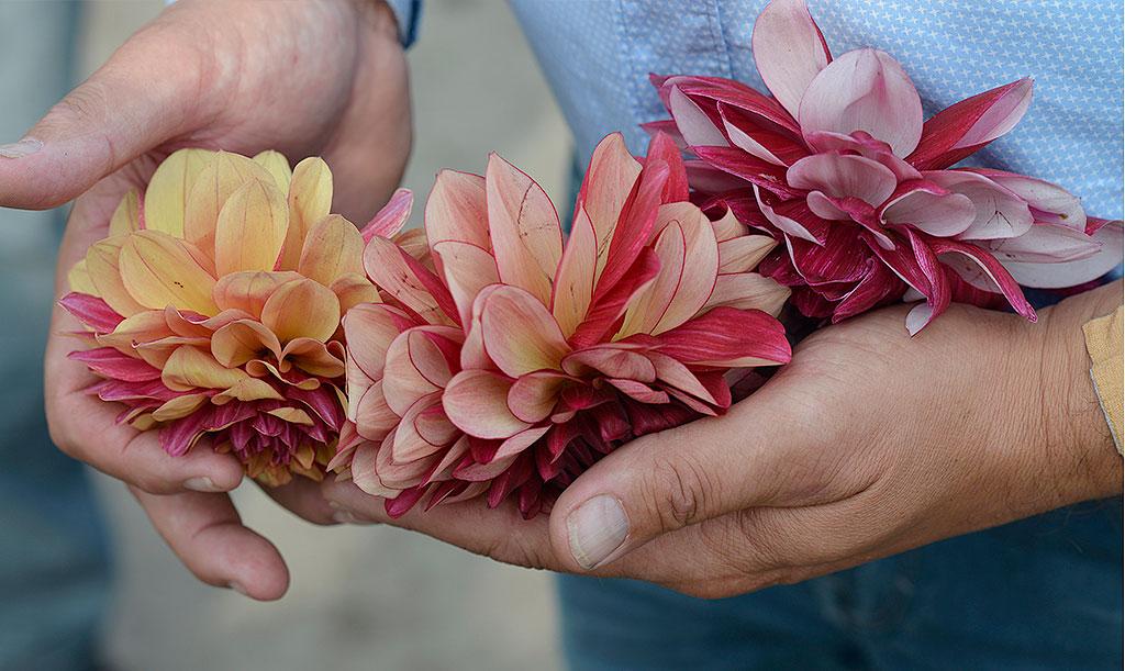 Dahlior är en av våra mest älskade blommor. De kommer i flera olika höjder, färger och former. De högsta kan behöva stöd, i synnerhet om de även sätter stora blommor. Foto: Marianne Johansson