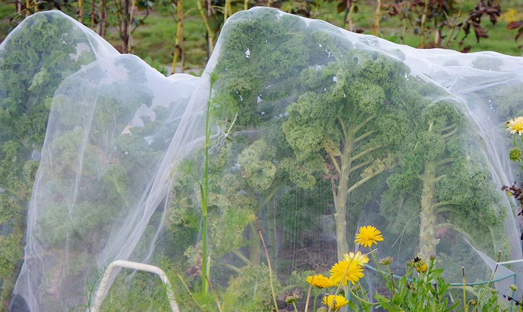 Grönkålen växer sig stor och det är lätt att stöden du använde i början av säsongen inte räcker till för att hålla kålnätet svävande en bit från bladen. Foto: Lovisa Back