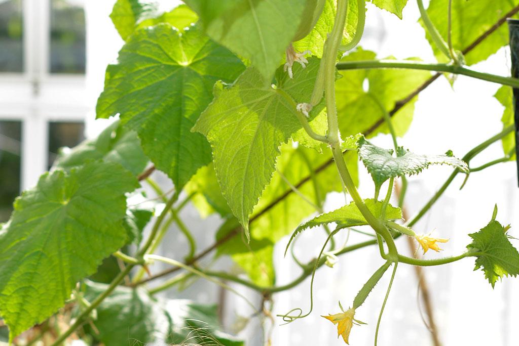 En slingrande växthusgurka kan hängas upp som ett draperi i växthuset. Foto: Markus Danielsson