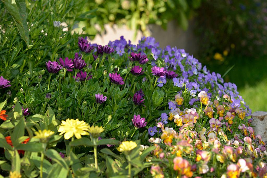 Många av våra sommarblommor är ljusgroende. Foto: Anna Lindeqvist