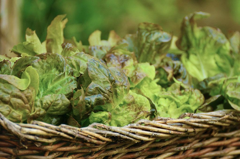 Sallat är lätt att odla och det räcker att strö fröerna över jordytan.