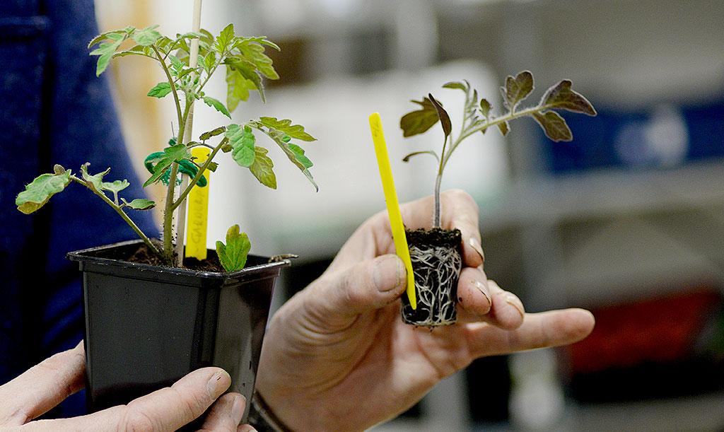 Odlingpluggar ger dina plantor en bra start och är enkla att hantera.