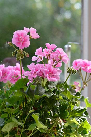 Odlar du blommor – exempelvis pelargoner – kan du lägga de överblommade blommorna i din egen kompost. Foto: Markus Danielsson