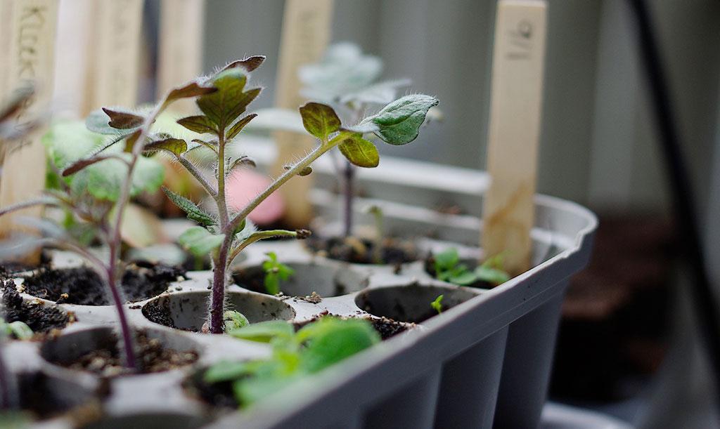 En pluggbox rymmer många plantor. Bäst är att odla sorter som växer ungefär lika fort.