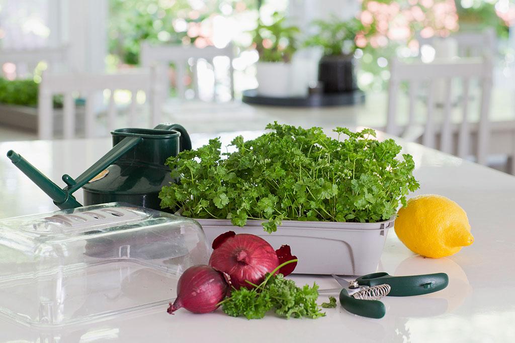 Den krusbladig persilja är enkel att odla inomhus. Foto: Annika Christensen