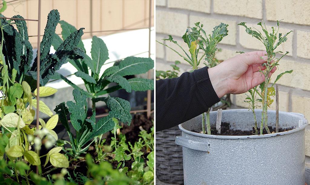Att odla utan kålnät är en chansning. Dessa svartkålsplantor odlades under 2017 på två olika platser i Sverige, helt utan kålnät. I september hade plantorna till i pallkragen återhämtat sig fint efter små bitmärken från hungriga larver. Plantorna som odlats i kruka var dock helt uppätna. Foto: Lovisa Back