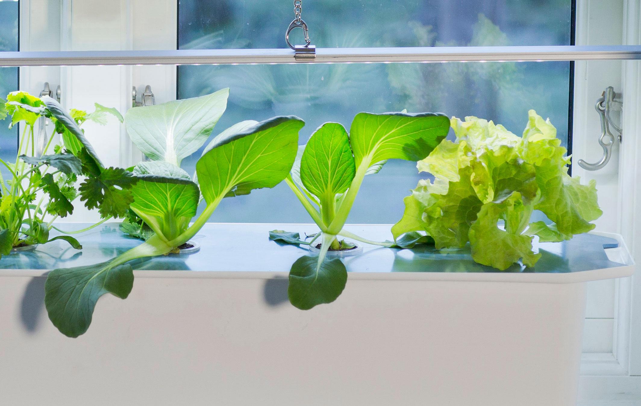 Snabbväxande bladgrönsaker som pak choi och sallat är enkla att lyckas med i din hydroponiska odling.Foto: Annika Christensen