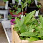 Avhärda förrådda plantor. Foto: Lovisa Back