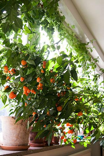 Ta vara på ljuset från dina fönster på bästa sätt genom att odla i dem. Foto: Rökeaus/Söderén