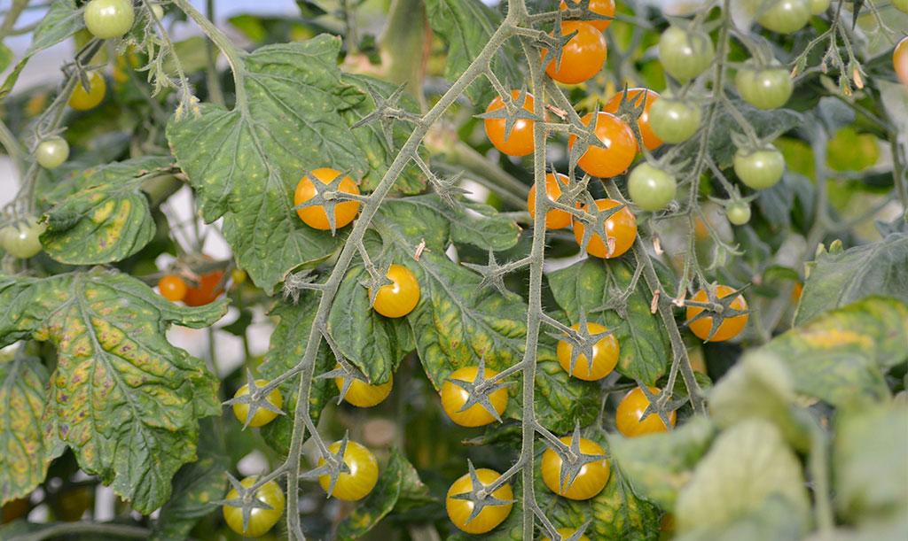 'Golden currant' ger mängder av vinbärsstora, guldgula tomater. Foto: Anna Lindeqvist