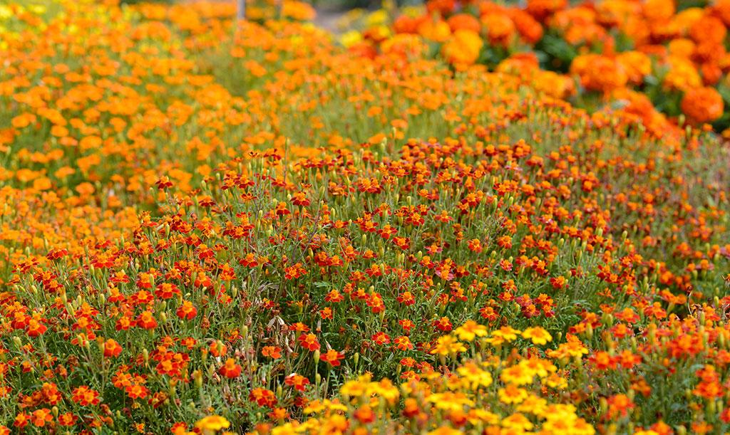 Liten tagetes kallas även kryddtagetes och blommar med små, enkla blommor. Foto: Anna Lindeqvist