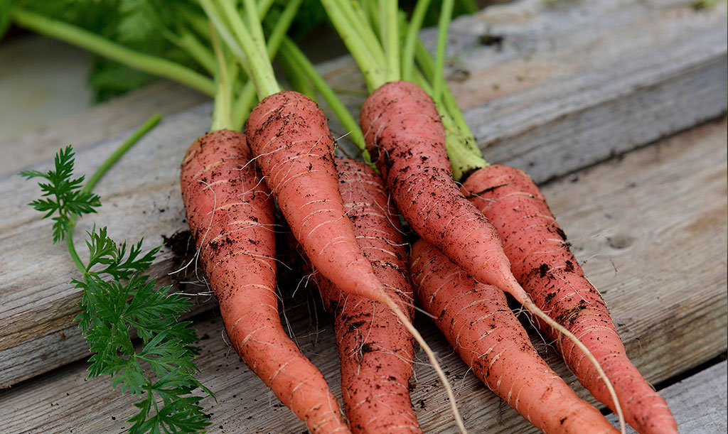 Morötter kan ha olika färger och former. Foto: Anna Lindeqvist