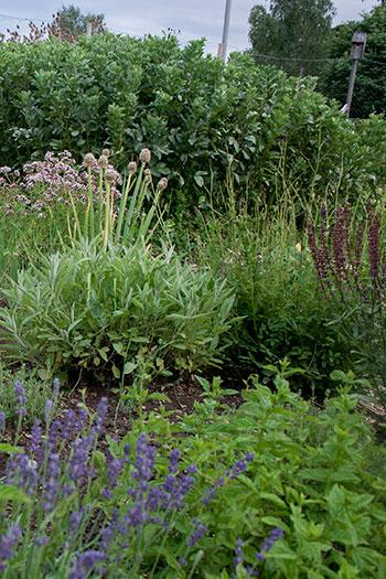 På odlingslotten finns gott om utrymme för att odla kryddväxter, rotfrukter och bär. Foto: Rökeaus/Söderén