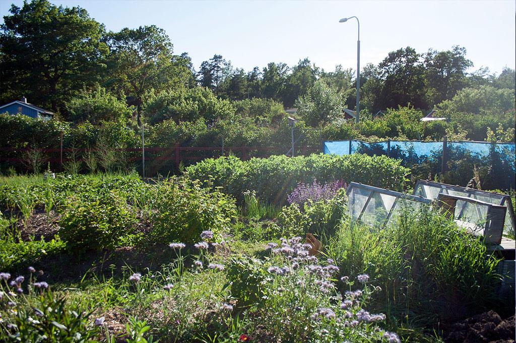 De flesta städer har odlingslotter som tillåter odling av mer utrymmeskrävande grödor. Eftersom du kanske inte har tid att vara på plats varje dag så är det viktigt att odlingen är uthållig för såväl regn som torka. Foto: Rökeaus/Söderén