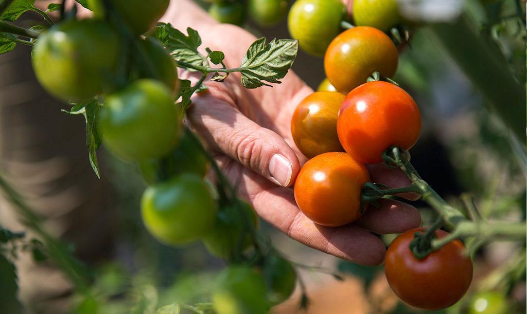 Odlar du tomater utomhus kan du skörda riktigt solvarma tomater.