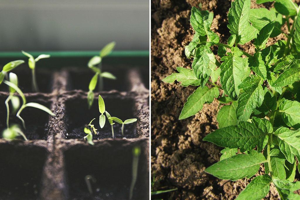 Rädda rangliga tomater