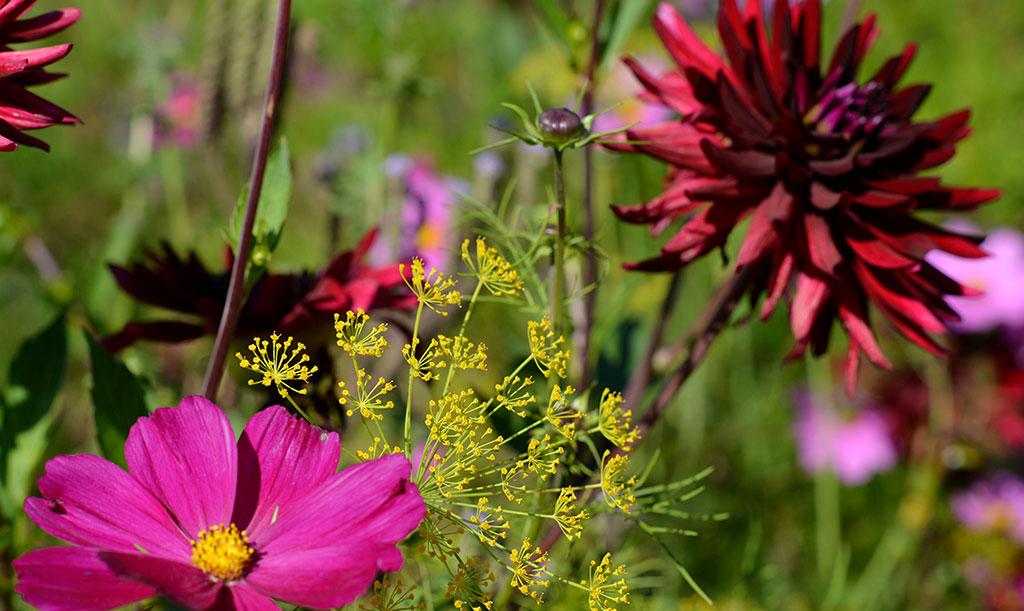 Kombinera gärna dina dahlior med sommarblommor och kryddor – exempelvis rosenskära och dill.