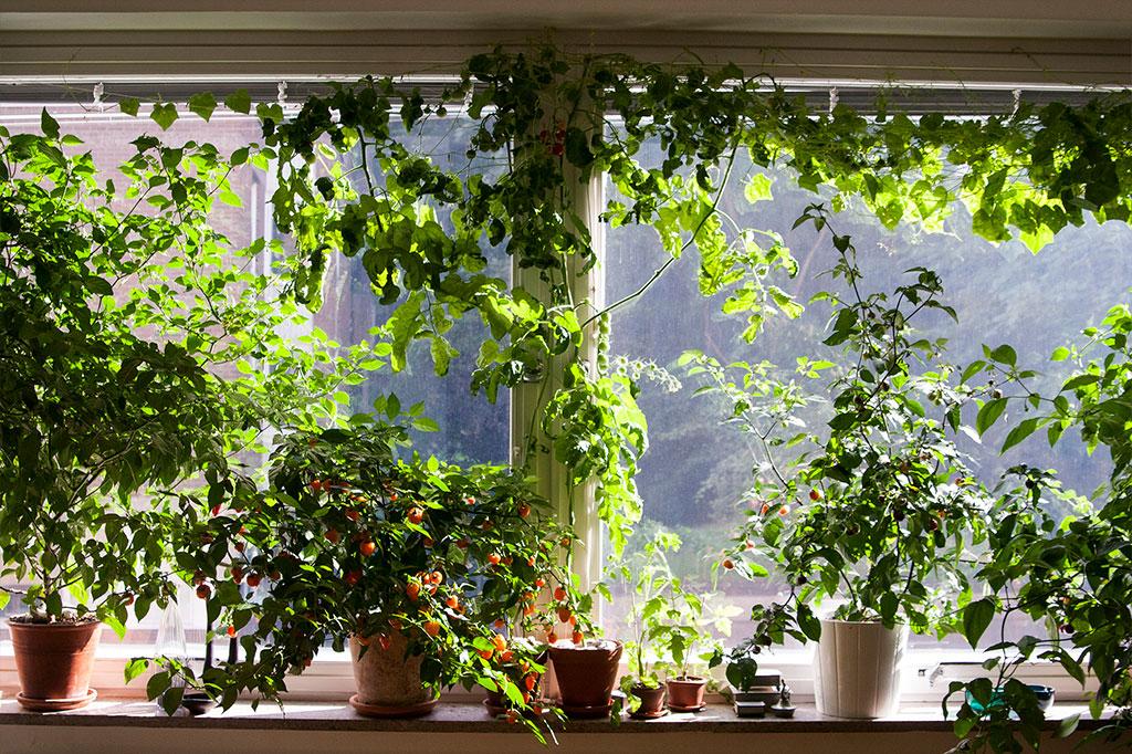 I ett stort fönster går det att odla mer än du tror om du utnyttjar utrymmet både på längden och på tvären. Foto: Rökeaus/Söderén