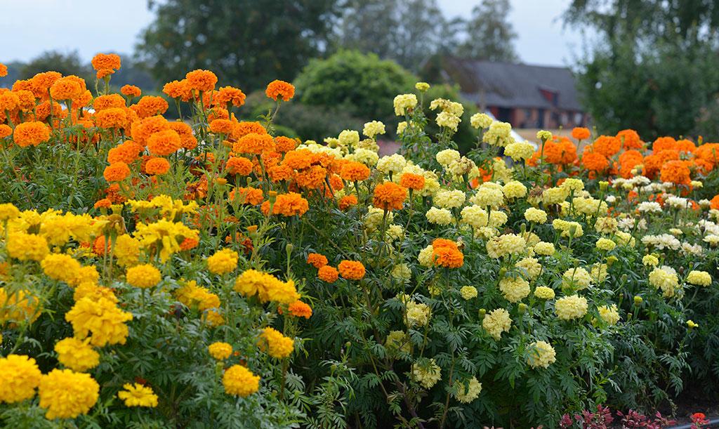 Stor tagetes kan, om de växer på friland och får goda förutsättningar, bilda en blommande häck. Foto: Anna Lindeqvist