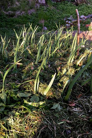 Täckodlad vitlök på odlingslotten. Foto: Rökeaus/Söderén