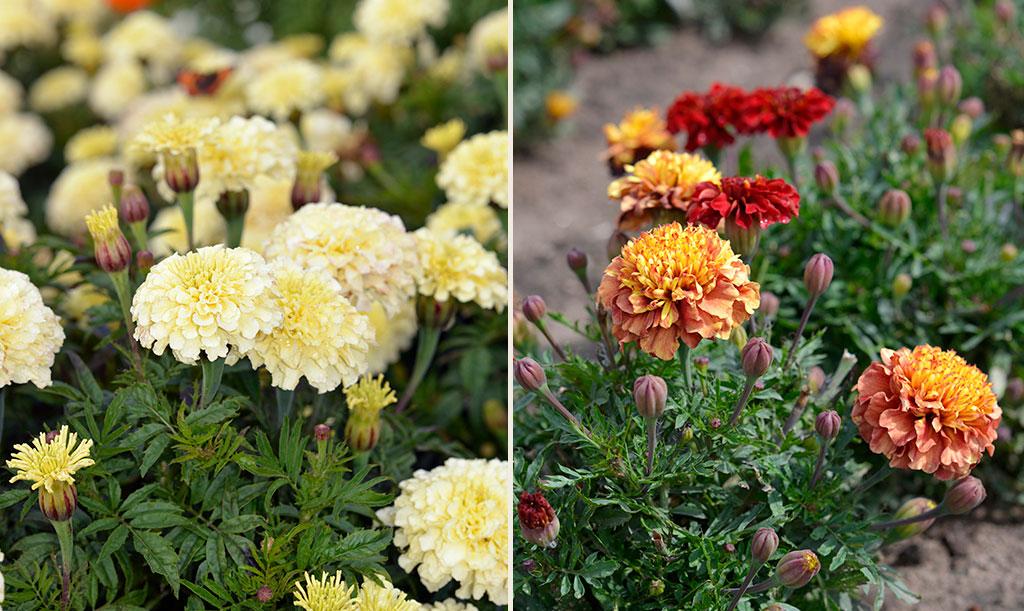 Stor tagetes 'Vanilla' Fi (t.v.) och sammetstagetes 'Strawberry Blonde' (t.h.) ger buskiga plantor med fyllda blommor i stiliga färger. Foto: Anna Lindeqvist
