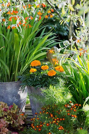'Taishan Orange' gör sig fint tillsammans med andra växter i kruka. Foto: Annika Christensen