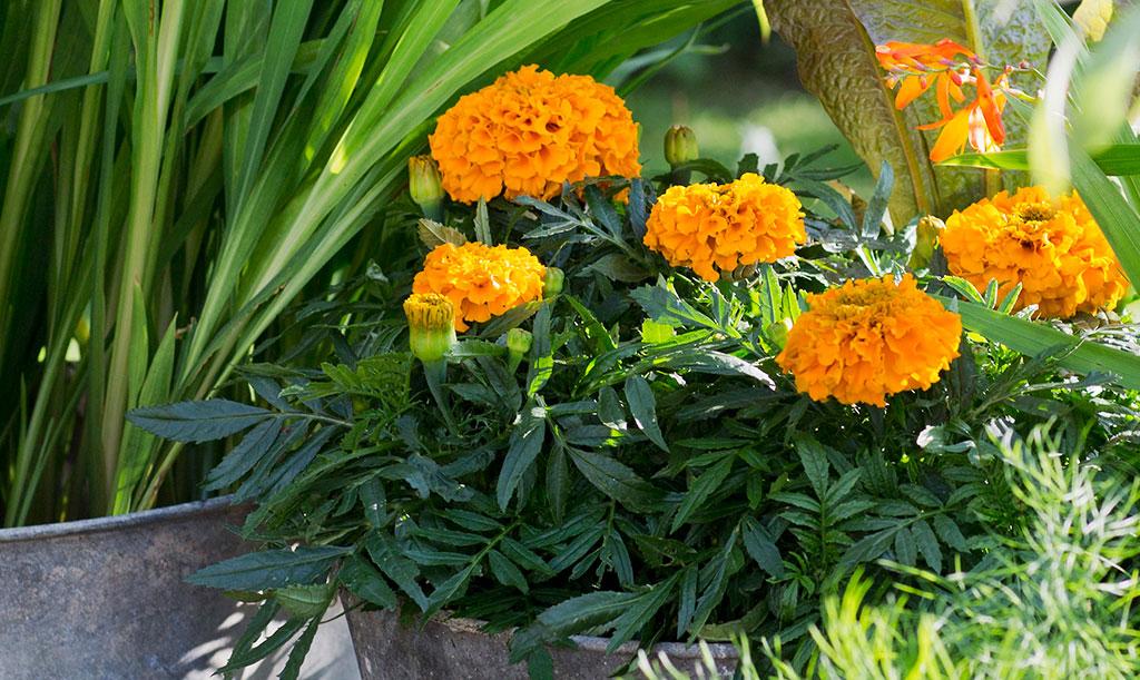 Stor tagetes 'Taishan Orange' Foto: Annika Christensen
