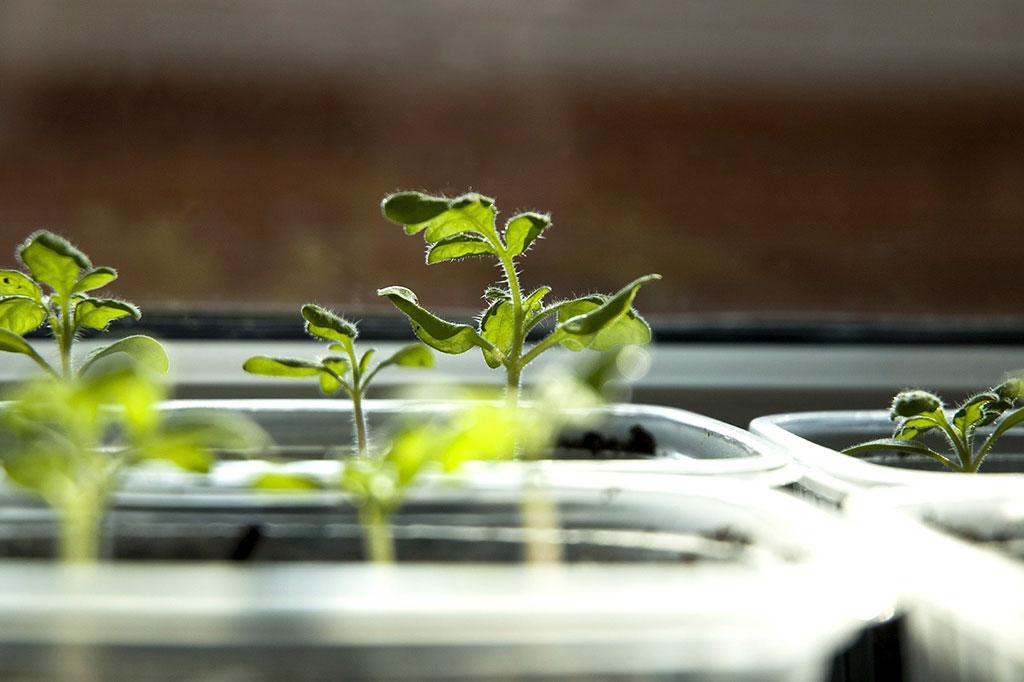 Lite varmare när fröerna gror, sedan behöver dina tomatplantor lite svalare temperatur och gott om ljus för att växa sig starka.