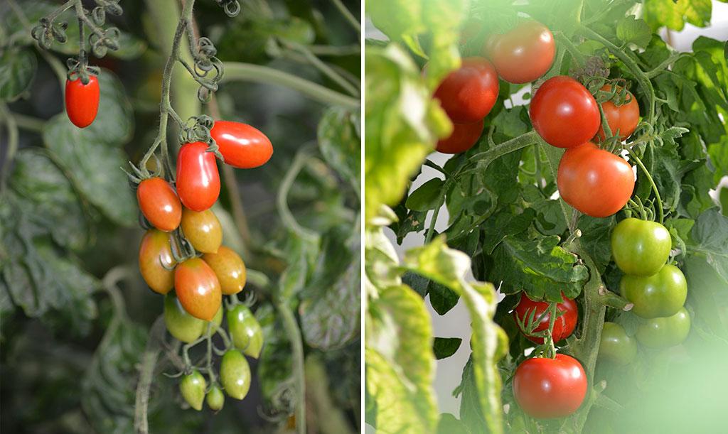 Tomater på friland Foto: Anna Lindeqvist