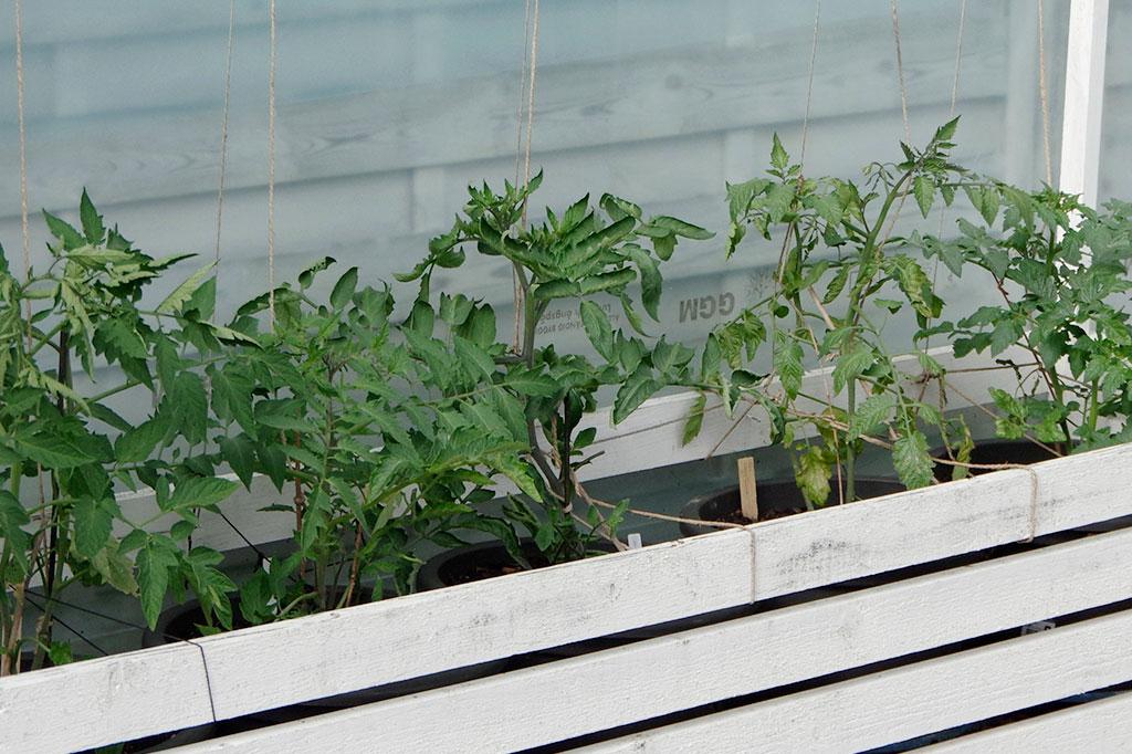 Robusta plantor som har lagt sin växtkraft på att växa sig starka snarare än långa, klarar övergången till utelivet bättre.