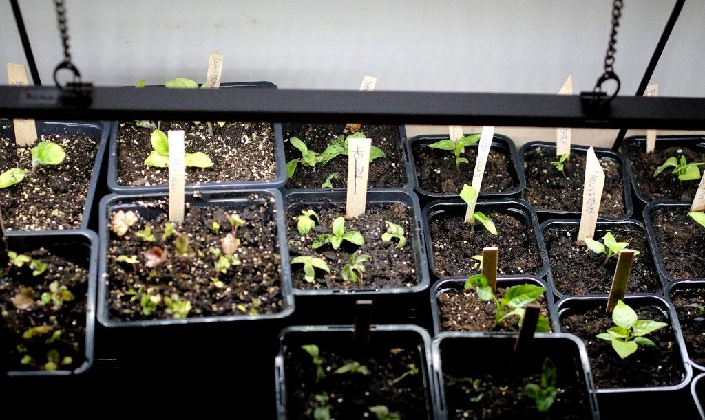 Aubergine, selleri och heliotrop är alla tre exempel på fröer som helst sås tidigt på året och därför behöver extra ljus. Foto: Lovisa Back