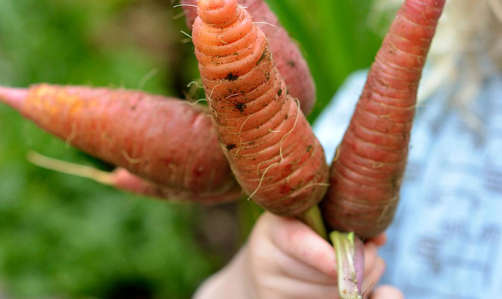 Det är först när du skördar morötterna som du ser hur mycket de har vuxit under jorden. Foto: Anna Lindeqvist
