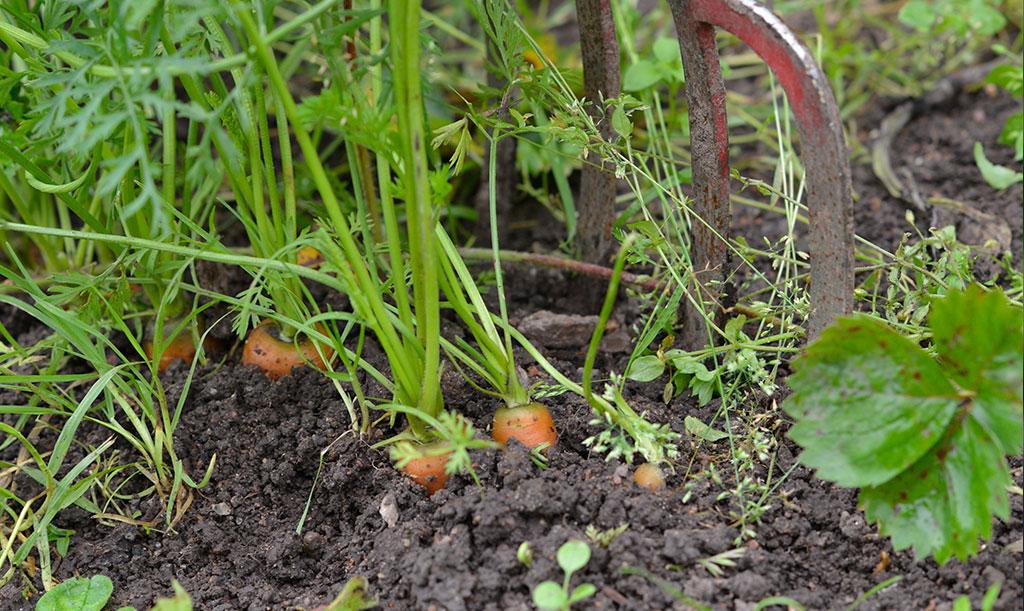 Skörda morötter med en grep. Foto: Anna Lindeqvist