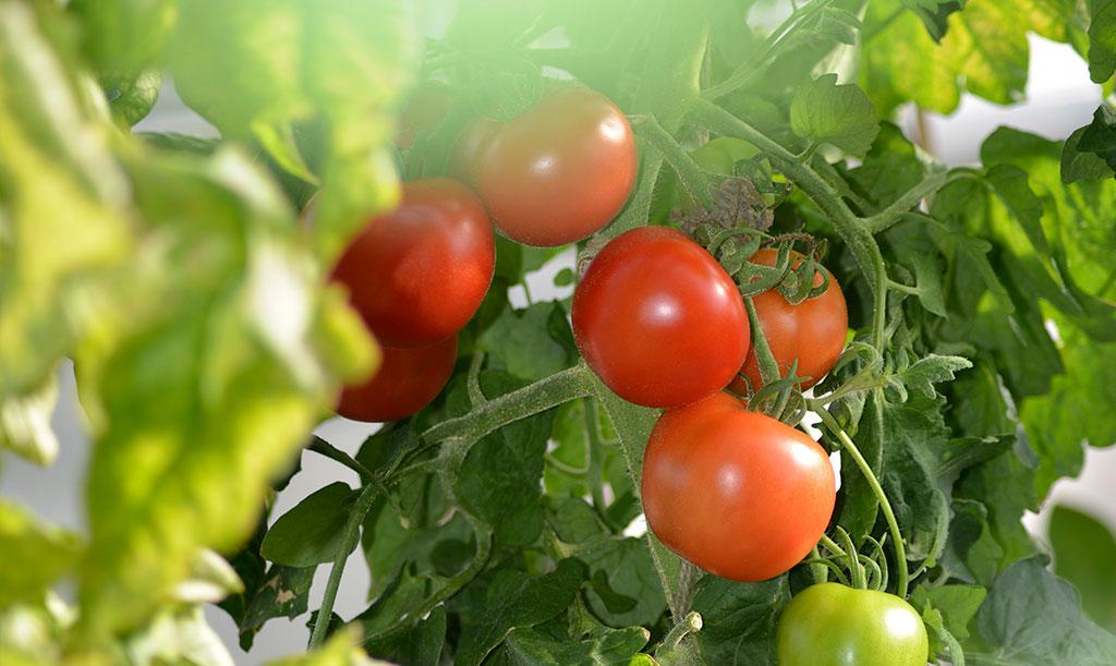 Blir det mycket bladmassa kan du behöva ta bort en del för att tomaterna ska hinna mogna. Foto: Anna Lindeqvist