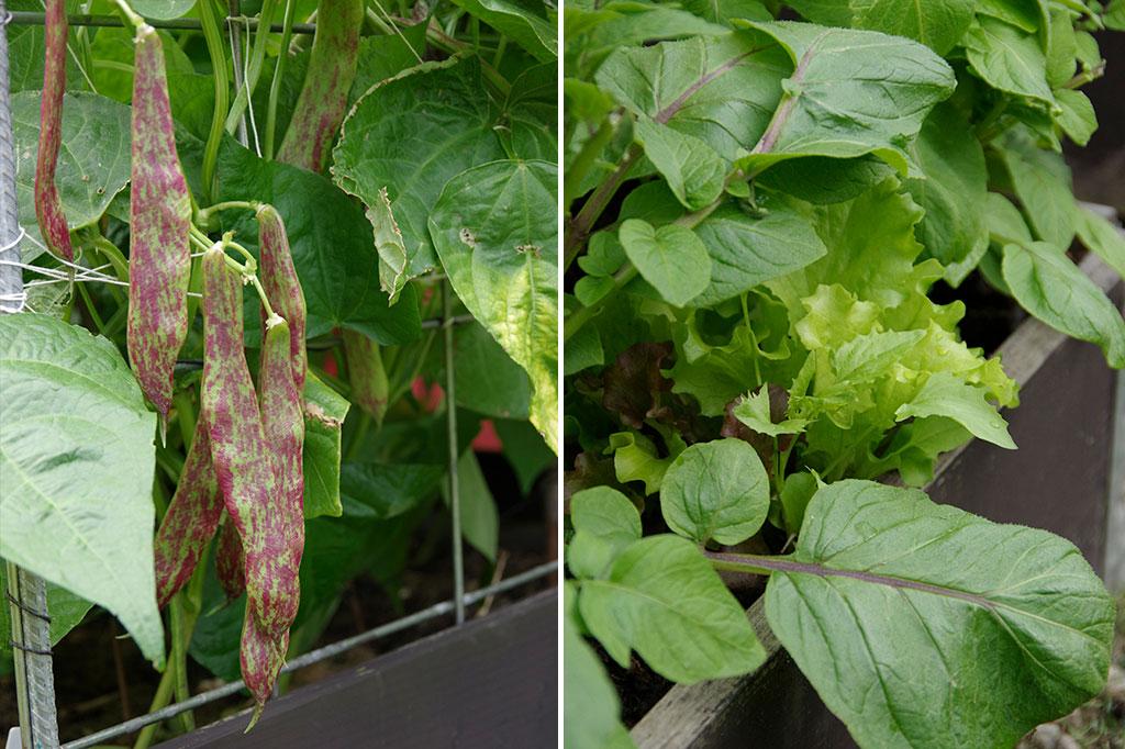 Bönor, betor och blad passar utmärkt att så direkt på friland. Bönor gror först när jorden har blivit lite varmare. Foto: Lovisa Back