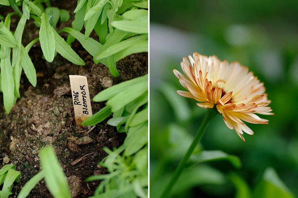 Ringblommor är tacksamma att odla direkt på friland. Gror snabbt, växer på bra, gillas av nyttodjuren och ger oss gott om sensommarbuketter. Foto: Lovisa Back