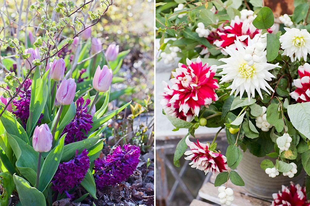 Lökgödsel passar blomsterlök och -knöl som du sätter såväl vår som vinter. Foto: Annika Christensen